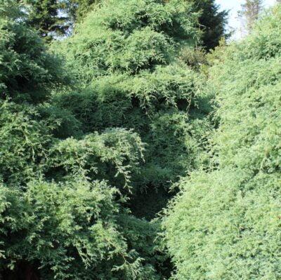 4 kilo blød enebær grene friskklippet i skoven